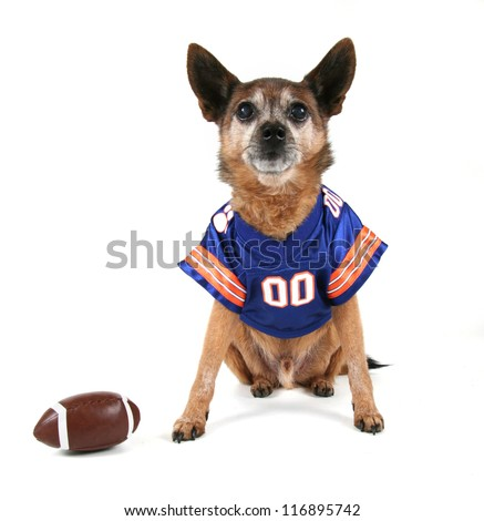 a chihuahua dressed up in a football uniform - stock photo