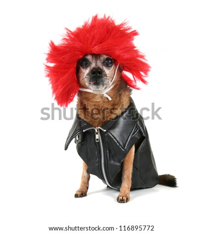 a chihuahua dressed up in a wig - stock photo