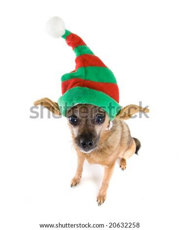 a chihuahua mix dressed up as an elf - stock photo