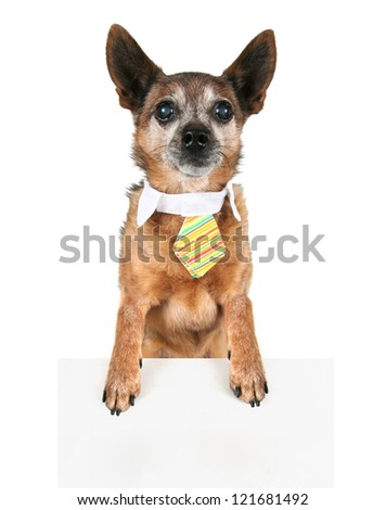 a chihuahua wearing a tie