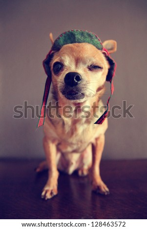 "a chihuahua winking ""i love you"" - stock photo"