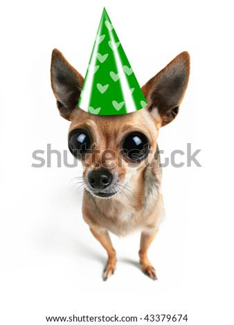a chihuahua with big eyes and a hat - stock photo