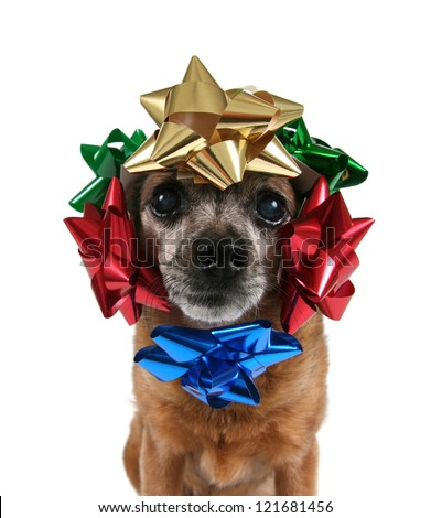 a chihuahua with bows on his head - stock photo