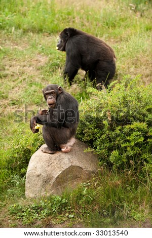 a chimp and a gorilla in a safari park