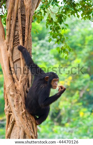 A chimpanzee is hanging on a tree.