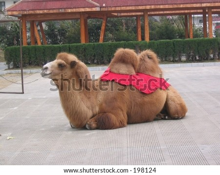 A chinese camel - stock photo
