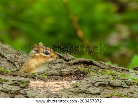 A Chipmunk perched in a log  looking right. - stock photo
