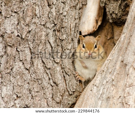 A Chipmunk perched in a tree truck. - stock photo
