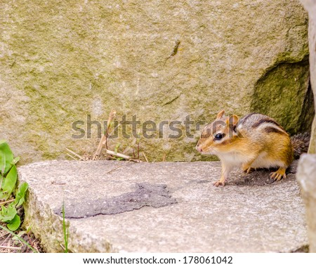 A Chipmunk perched on a rock at the entrance of a hole. - stock photo