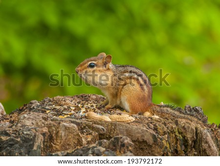 A Chipmunk perched on a tree stump with bird seed and peanuts. - stock photo
