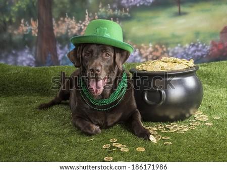 A chocolate labrador dog wears a green shamrock hat near a pot of gold; St. Patrick's  - stock photo