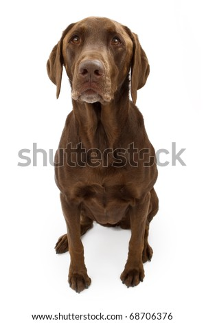A chocolate Labrador retriever dog sitting down and isolated on white - stock photo