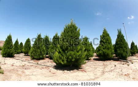 a christmas tree farm in southern california. growing beautiful green pine trees for your holiday christmas tree needs.  shot with a 14mm fisheye lens - tree farm, xmas tree, christmas, holiday - stock photo