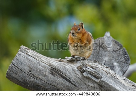 A chubby chipmunk resting on a weathered log. - stock photo