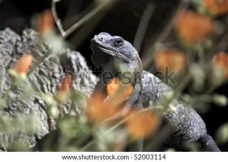 A chuckwalla, Sauromalus obesus, basks in the sun behind desert globemallow flowers in Ash Meadows National Wildlife Refuge, Nevada - stock photo