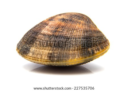a clam, isolated on white background - stock photo