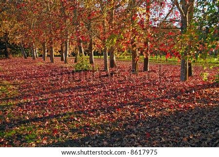 A classic fall scene in Northern California.  Maple trees have dropped the majority of their leaves, long shadows cast by low sun.
