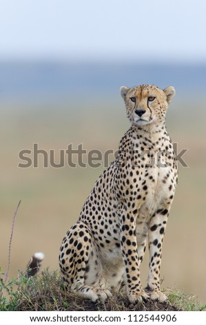 A clean portrait of a cheetah sitting on a termite mound in the Masai Mara in Kenya. - stock photo