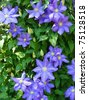 A climbing vine of purple clematis flowers - stock photo