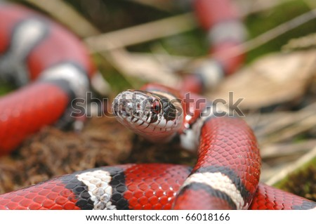 A close image of the head and partial body of a red milk snake from western Missouri. - stock photo