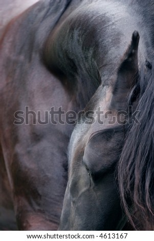 A close photograph of the beautiful arched neck of a friesian horse