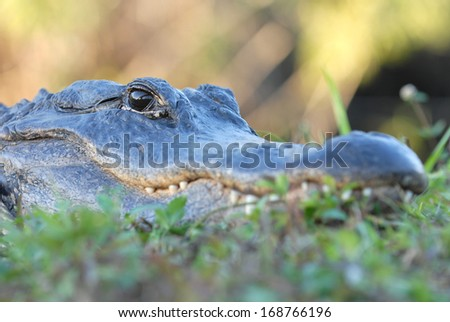 A close shot at eye level with a medium sized alligator. - stock photo