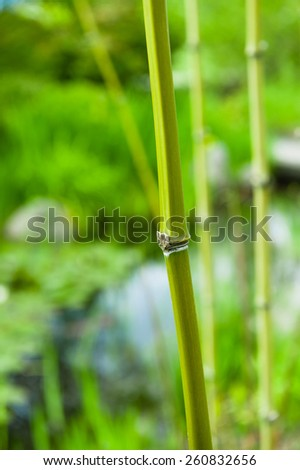 A close shot of a Japanese Asian bamboo in nature. Zen feeling. A beautiful decor for SPA. - stock photo