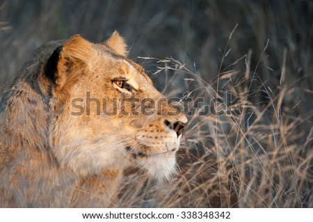 A close up, colour image of a lioness, Panthera leo, resting in tall dry grass, fur and amber eyes glowing in the light as she smiles off to one side, Sabi Sands Game Reserve, South Africa. - stock photo