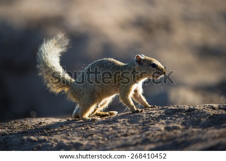A close up, colour photo of a tree squirrel standing on bare earth. - stock photo