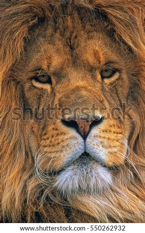 A close up facial portrait of the king of the jungle, a mature male lion.