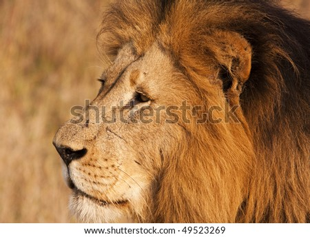 A close-up head shot of a mature male lion (panthera leo) in the wild in South Africa seen while on safari on a game preserve. Scars on his nose show past battles. - stock photo