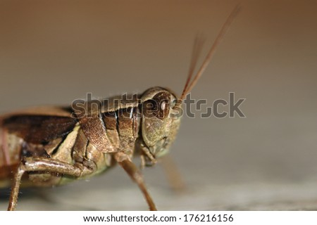 A close up image of a common grasshopper found in the midwest. - stock photo