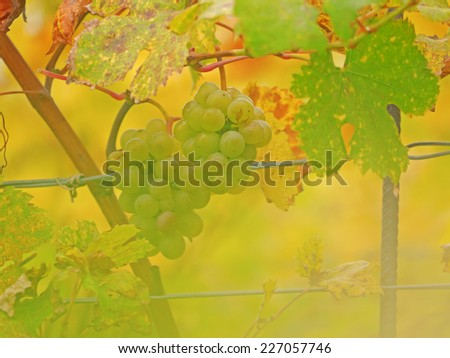 A close-up image of a grapes. - stock photo