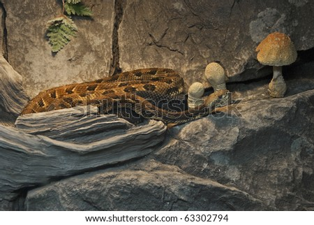 A close-up look of the eastern timber rattlesnake. - stock photo