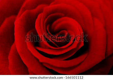 A close up macro shot of a red rose - stock photo