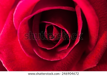 A close up macro shot of a red rose,valentine background - stock photo