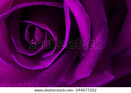 A close up macro shot of a rose,valentine background