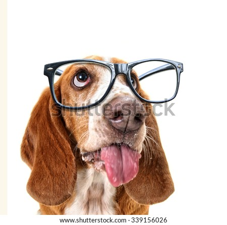 a close up of a basset hound's face with cool trendy hipster or nerd geek black frame glasses on his face  - stock photo