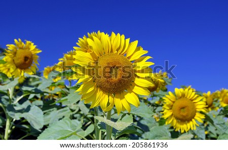a close-up of a beautiful yellow sunflower against blue sky  - stock photo