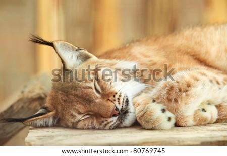 A close-up of a bobcat sleeping on wooden board - stock photo