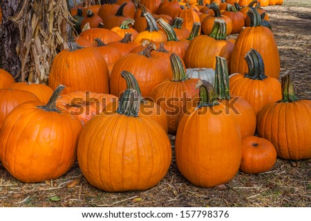 A close up of a bunch of pumpkins on the ground. - stock photo