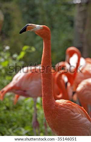 A close up of a Caribbean Flamingo