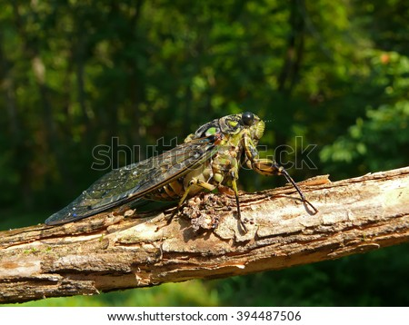 A close-up of a cicada (Tibicen bichamatus) on log. South of Russian Far East, Primorye.