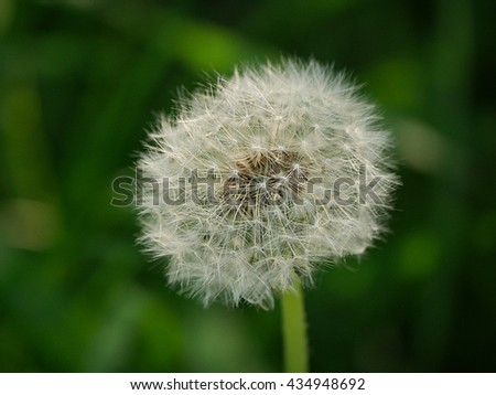 A close-up of a dandelion seed head, with an intense green backdrop.
