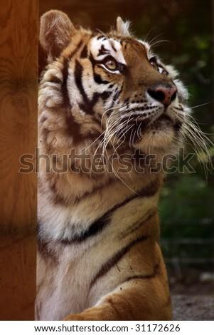 A close-up of a female Siberian / Amur tiger (panthera tigris altaica) looking up - stock photo