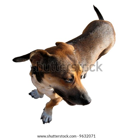 A close up of a funny brown dog. Isolated on white.