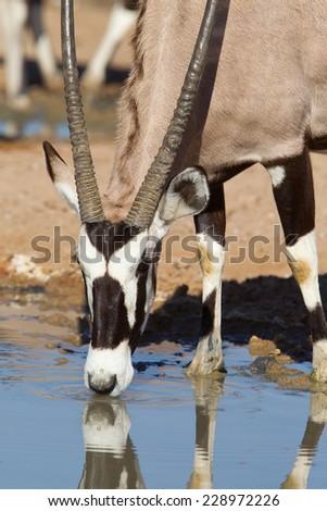 A close up of a Gemsbok (Oryx gazella) drinking at a waterhole in the Kalahari desert, South Africa - stock photo