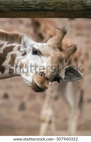 A close up of a giraffe's face - stock photo