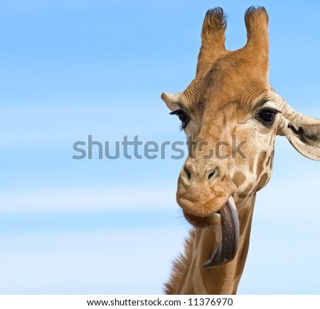 a close up of a giraffe with its long tongue out looking stupid lots of opy space - stock photo