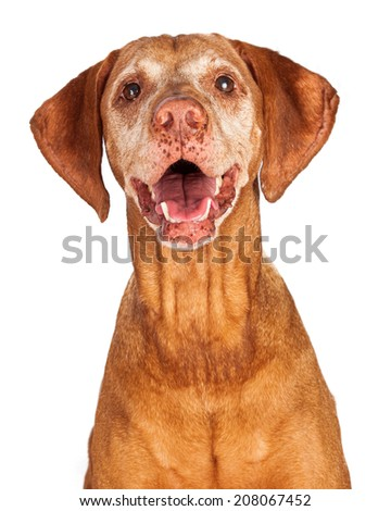 A close-up of a happy Vizsla breed dog looking forward with her mouth open - stock photo